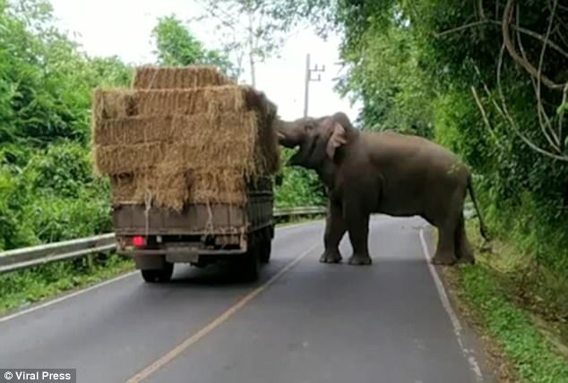 The elephant was caught on camera stealing a bale from a passing lorry inKhao Yai National Park in Thailand's Nakhon Ratchasima province